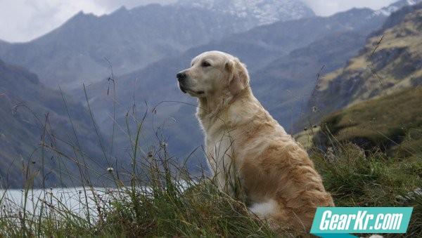 golden-retrieves-looking-left-mountain-lake_h