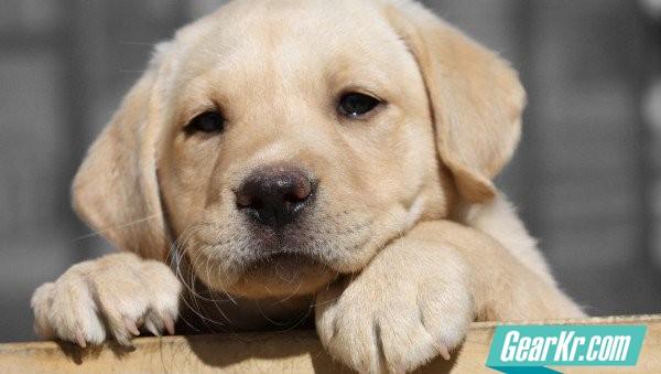 lab-puppy-face_h