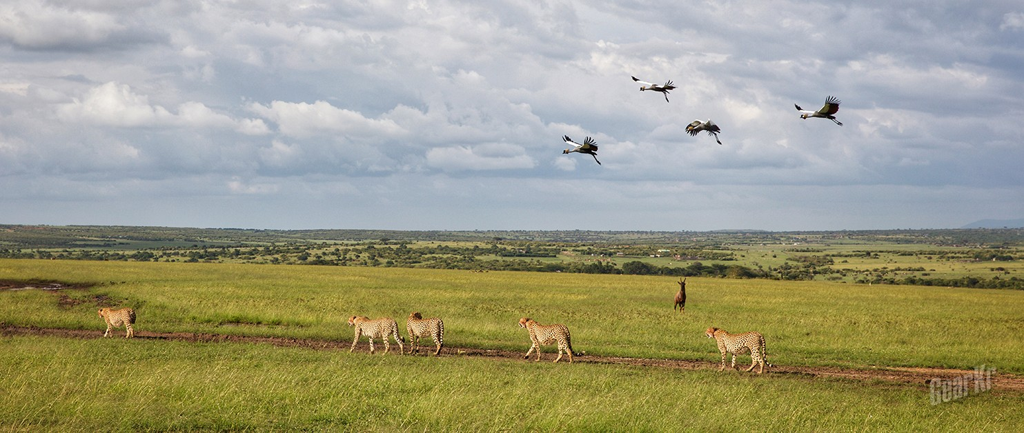 两个人的赤道国家行(五)颜面尽失的猎豹和狮子
